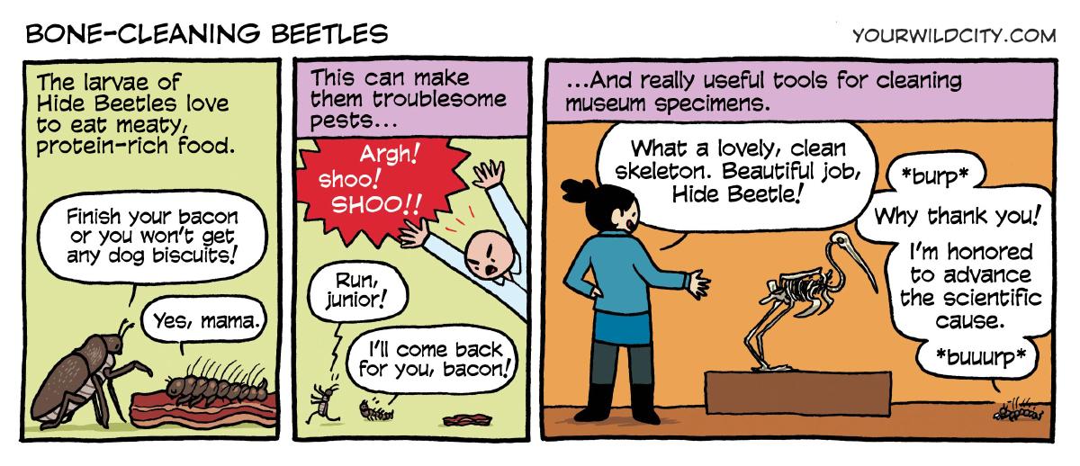 Bone-cleaning Beetles