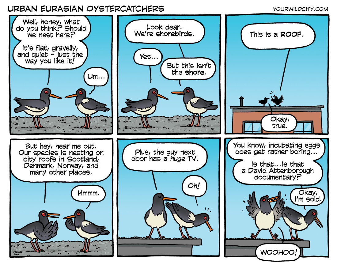 Urban Eurasian Oystercatchers