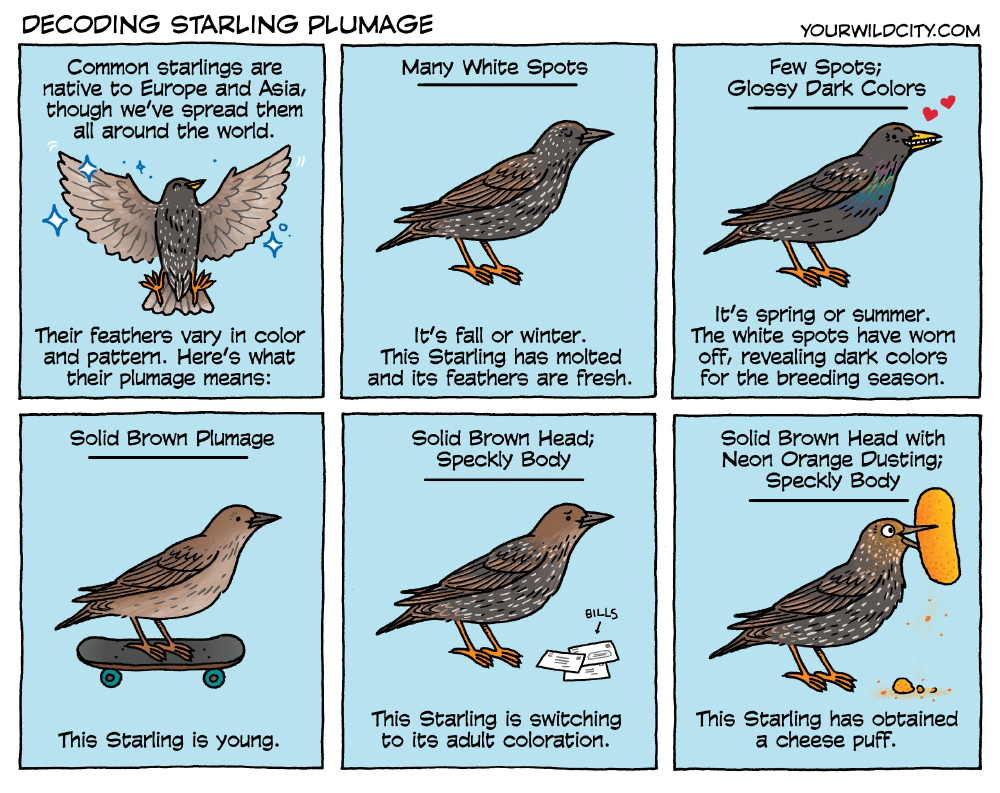 Decoding Starling Plumage